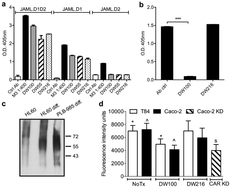 Characterization of an anti-human JAML mAb that inhibits JAML-CAR binding (a) Anti-JAML mAbs were added to Immulon plates coated with sJAML (JAML.D1D2), membrane distal (sJAML.D1) or membrane proximal (sJAML.D2) domains. Antibody binding was detected using goat anti-mouse HRP. M3 represents JAML antiserum collected from the sJAML-His immunized mouse before fusion. Anti-Myc mAb (9E10) was used as control. Both anti-JAML mAbs bound to the membrane distal domain (D1) of JAML. (b) mAbs to JAML (10 μg/ml) were added to plates coated with sJAML followed by addition of CAR-GST (5 μg/ml). CAR binding was detected by goat anti GST-HRP. DW100 inhibited CAR binding to sJAML, but DW216 had no effect. *** p