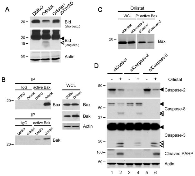 Orlistat-induced activation of the <t>caspase</t> cascade depends on caspase-2 ( A ) Cotreatment with the caspase-2 inhibitor <t>zVDVAD-fmk</t> prevented orlistat from inducing a decrease in full-length Bid (short exposure) and the appearance of truncated Bid (long exposure; solid and empty arrows indicate full-length and cleaved Bid, respectively). ( B) Inhibition of FASN by orlistat activated Bax and Bak. Active Bax or Bak were immunoprecipitated (IP) from the whole cell lysate (WCL) and detected as described in the Materials and Methods. ( C ) Downregulation of caspase-2 by RNAi dampened orlistat-induced Bax activation. ( D ) Inhibition of caspase-2 suppressed the activation of the caspase cascade (Solid and empty arrows indicate full-length and cleaved caspases, respectively). The loss of caspase-2 was revealed by a monoclonal caspase-2 antibody 11B4. 420 cell lysates were collected 12 h (A–C) or 24 h (D) post treatment.
