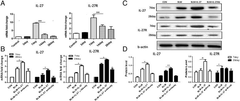IL-27/IL-27R expression increases in bleomycin-induced pulmonary fibrosis. A . Real-time PCR for IL-27 and IL-27R, at days 3, 7, 14, and 28 in the BLM and control groups. The expression of the CT values for real-time PCR were normalized by 2 -∆∆ct . B . IL-27 and IL-27R mRNA expression in the different groups. C , D . Western blot analysis; band intensities were measured using Image J. For each group, n = 3. Data are expressed as the mean ± SEM. *p