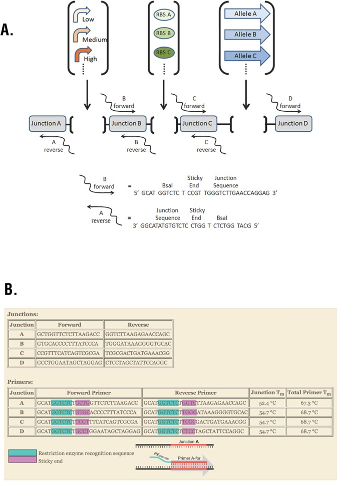 Combinatorics Module. (A) Junction-Golden Gate Assembly (J-GGA) introduces genetic variation into a single gene expression cassette as shown, or multiple gene expression cassettes arranged in tandem. PCR amplifies the vector and adds BsaI restriction sites and sticky ends complementary to the elements to be inserted. J-GGA inserts element(s) using standardized PCR primers regardless of the insert sequences. (B) The online Golden Gate Assembly Junction Evaluative Tool (GGAJET) enables users to design junctions with compatible sticky ends and specific primers with similar melting temperatures. GGAJET is available at gcat.davidson.edu/SynBio13/GGAJET/ .
