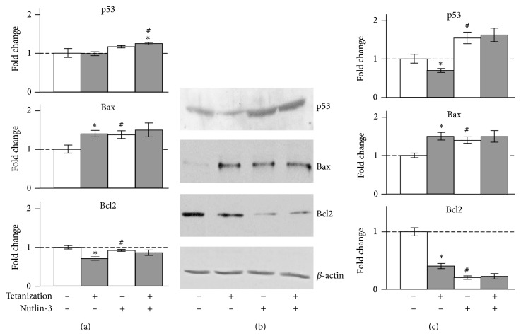 """Effect of tetanization on p53, Bax, and Bcl2 in the rat hippocampal CA1 area. (a) Total RNAs were prepared and subjected to real-time PCR for the measurement of mRNAs. The mean of Ct values of five housekeeping genes was used as internal control for normalization as described in Section 2 . (b) Representative Western blots. Whole-cell extracts were prepared from the rat hippocampal CA1 area and subjected to Western blot analysis as described in Section 2 . (c) Relative intensity. The protein bands were analyzed by the computerized densitometric program """"Total Lab."""" The intensities of the signals were determined from the areas under the curves for each peak and data were graphed. β -actin was used as internal control for normalization. The fold changes were expressed by taking the average value of the group tetanization (−) /nutlin-3 (−) as one. * P"""