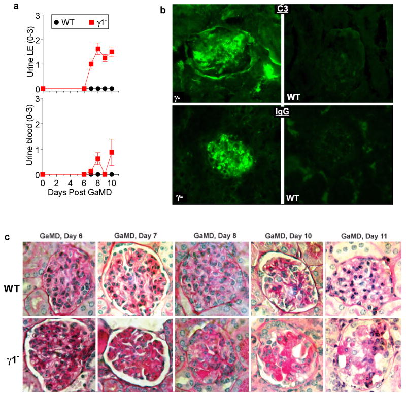 GaMD immunization of γ1 - mice induces renal dysfunction and glomerular deposition of PAS + material that includes IgG and complement a , WT and γ1 - mice (4/gp) were immunized with GaMD. Urine LE and blood were obtained. b , Representative photomicrographs of glomeruli stained for C3 (top panels) or total mouse IgG (bottom panels) from WT (right panels) and γ1 -/- mice (left panels) 12 d post-GaMD immunization 3 mice/group. c , Deposition of amorphous PAS + material in glomeruli of γ1 - , but not WT begins ∼7 days post GaMD-immunization and leads to glomerular destruction by day 9. Note the scarcity of inflammatory cells in glomeruli. Representative data of 6 mice/group.