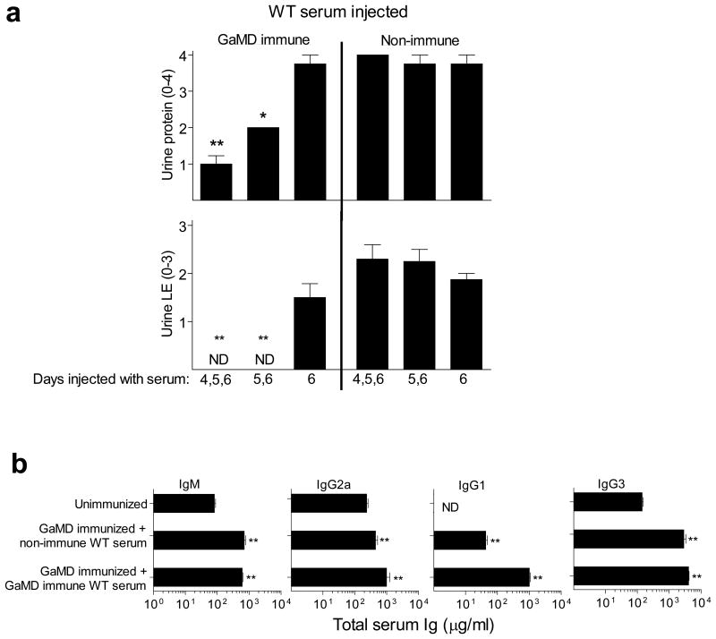 GaMD immune serum from WT mice inhibits GaMD-induced renal disease without decreasing other isotypes if injected into GaMD-immunized γ1 - mice by 5d after immunization a . BALB/c γ1 - mice (4 or 8/gp) were injected s.c. with GaMD on day 0 and i.p. with 0.5 ml of pooled serum from GaMD-immunized WT mice (GaMD immune WT serum) or unimmunized WT mice (non-immune serum), starting 4, 5, or 6d after GaMD immunization. Day 7 urine samples were analyzed. ND = none detected. b. BALB/c γ1 - mice (4 or 8/gp) were injected s.c. with GaMD on day 0 and i.p. with 0.5 ml of pooled serum from GaMD-immunized WT mice (GaMD immune WT serum) or unimmunized WT mice (non-immune serum), 5, 6 and 7 d after GaMD immunization. Sera were assayed for total <t>IgG1,</t> <t>IgG2a,</t> IgM and <t>IgG3</t> on d0 (unimmunized) and 8d after GaMD immunization. ND = none detected.For both a and b , * indicates p