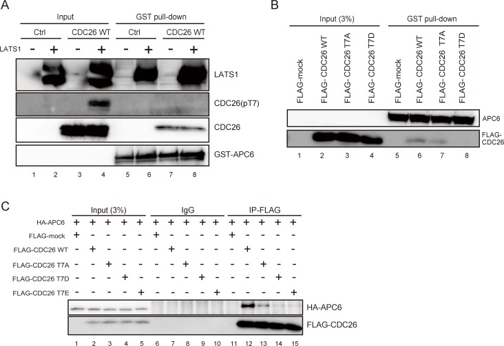 LATS1-mediated phosphorylation of CDC26 T7 inhibits the interaction between CDC26 and APC6. (A–C) Pull-down assays showing the interaction of wild-type and mutant CDC26 with APC6. (A) The interaction of T7-phosphorylated CDC26 with APC6. Recombinant CDC26 and or distilled water (Ctrl) was incubated with 0 or 2 μl (400 ng) of GST-LATS1 in a cold in vitro kinase assay and then incubated with GST-tagged APC6 bound to glutathione-Sepharose beads. The input fraction and the bead-bound proteins were subjected to immunoblot analyses with the indicated antibodies. (B) The interaction of the CDC26 T7A and T7D mutants with APC6. Lysates from HeLa cells expressing FLAG alone (FLAG-mock) or FLAG-tagged wild-type, T7A-mutated, or T7D-mutated CDC26 were incubated with GST-tagged APC6 bound to glutathione-Sepharose beads. The bead-bound proteins and 3% of the input fraction were subjected to immunoblot analyses using the indicated antibodies. (C) HeLa cells expressing FLAG alone (FLAG-mock) or FLAG-tagged wild-type, T7A-mutated, T7D-mutated, or T7E-mutated CDC26 were transfected with an expression vector harboring HA-tagged APC6. Lysates of the transfected cells were immunoprecipitated with control IgG and an anti-FLAG antibody. The immunoprecipitates and 3% of the input fractions were analyzed by immunoblotting with anti-HA and anti-FLAG antibodies.