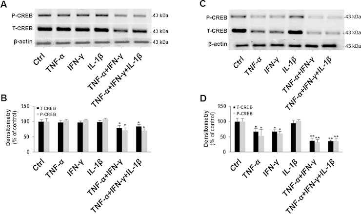 Downregulation of CREB in cytokine-treated SH-SY5Y cells. P-CREB, T-CREB and β-actin proteins of SH-SY5Y cells treated or untreated with 500 U/m IFNγ, 1000 U/ml TNFα and 10 ng/ml IL-1β individually or in cambination for 24 h were immunodetected with specific antibodies. P-CREB blot was reprobed for T-CREB quantification. Similar results were obtained in four independent experiments. (B) The intensities of P-CREB and T-CREB in (A) were analyzed densitometrically using a Fluor-S MultiImager and Quantity One software (Bio-Rad) and corrected for β-actin. Data are expressed as means ± S.D. of four individual experiments. * P