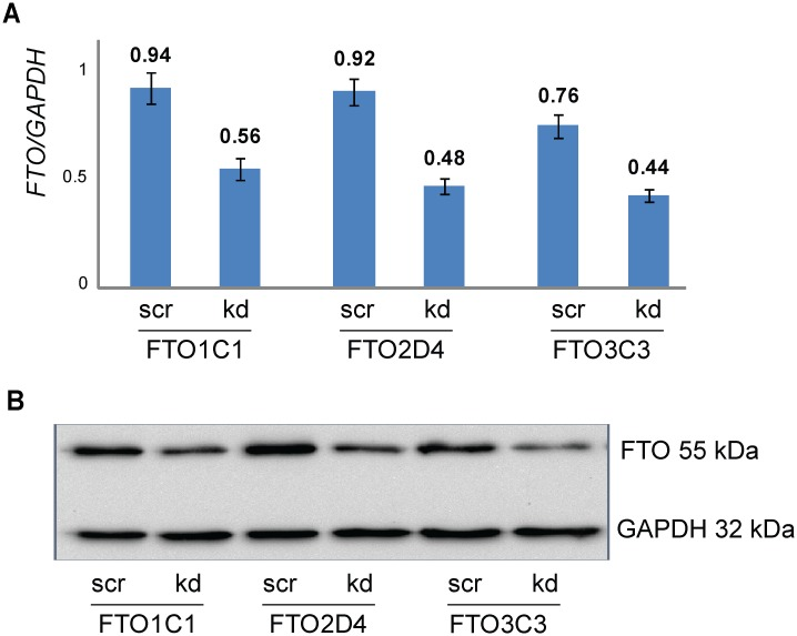 FTO knockdown in HEK293 cell clones FTO1C1, FTO2D4 and FTO3C3. A) The levels of FTO transcripts were investigated by qRT-PCR. GAPDH was used as a reference gene. Mean ± SD for three pairs of scrambled (scr) and FTO specific siRNAs treated cells are shown. B) Reduced protein levels were revealed by Western blot in all three cell lines transfected with siRNAs targeting FTO mRNA. Exemplary photo is depicted.