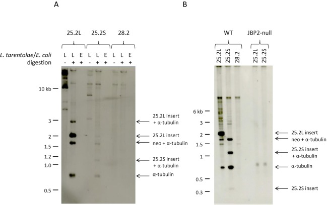 J is inserted into some plasmids transfected in L. tarentolae . The 25.2S, 25.2L and 28.2 plasmids, shown in Figure 2 , were purified after amplification in L. tarentolae or E. coli . The DNA samples were digested with BamHI, EcoRI and XbaI, size-fractionated in a 0.7% agarose gel in 0.5×TBE, transferred to nitrocellulose and incubated with an anti-J antibody. ( A ) The plasmids 25.2L and 25.2S purified from L. tarentolae show specific bands recognized by the anti-J antibody. It is clear that J was not only formed in the inserted 2 kb 25.2L cSSR, but also in the adjacent 0.8 kb intergenic α-tubulin and the 1.7 kb α-tubulin-neo fragments. The small 25.2S insert fragment is not visible on the blot. No J-containing fragments are detected when the plasmids were isolated from E. coli or when the 28.2 plasmid was used. ( B ) J-containing DNA fragments are only detected after growth in the wild-type and not after growth in the JBP2-null L. tarentolae strain. This blot contains the 0.4 kb 25.2S insert band, albeit weak because these small fragments are lost during blotting. The 1.2 kb fragment in the 25.2S plasmid preparation is due to a modification of the BamHI site.
