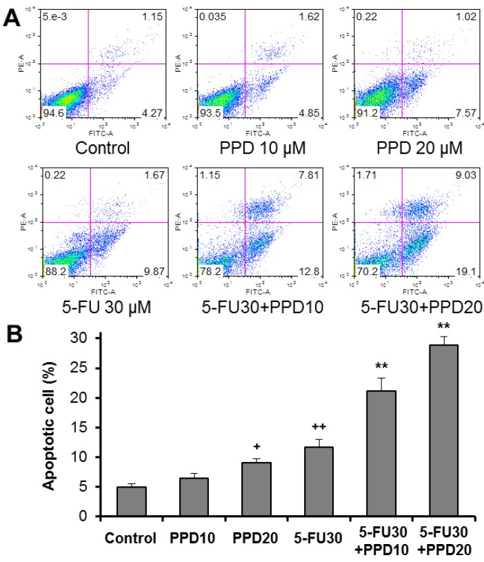 Effects of protopanaxadiol (PPD) on 5-FU-induced apoptosis. HCT-116 human colorectal cancer cells were treated with PPD at various concentrations (10 and 20 µM) in the absence or presence of 5-FU (30 µM) for 48 h. Apoptosis was quantified using annexin V/PI staining followed by flow cytometric analysis. ( A ) Representative scatter plots of PI ( y -axis) vs. annexin V ( x -axis) in each experimental group; ( B ) the percentage of apoptotic cells. Data obtained from triplicate experiments. + p
