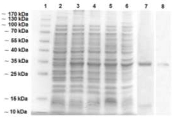 Expression of rEg95 pET32 in E. coli BL21 (DE3) 1: molecular weight marker; 2: Non-induced BL21 pET32- EG95 ; 3: 1-hour induced BL21 pET32- EG95 ; 4: 2-hour induced BL21 pET32- EG95 ; 5: 3-hour induced BL21 pET32- EG95 ; 6: 4-hour induced BL21 pET32- EG95 ; 7: Purified rEG95 pET32 ; 8: Purified rEG95 pET32 detected by polyclonal mouse CHD antiserum