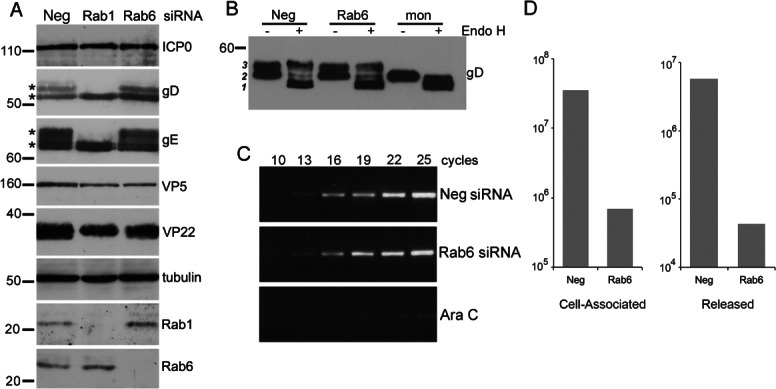 Rab6 depletion inhibits virus production at late stages of infection. A) HeLa cells transfected with neg, Rab1 or Rab6 siRNAs were infected with HSV1 2 days later and harvested 16 h after infection for western blotting with antibodies as indicated. Mature glycosylated forms of gD and gE are marked by asterisk. B) The status of glycoprotein glycosylation in control (neg), Rab6 depleted or monensin treated cells was determined by Endo H treatment of infected cell lysates harvested at 16 h, and analysed by western blotting for gD. Three isoforms of gD are denoted by 1, 2 3 . C) The level of DNA replication in control (neg), Rab6 depleted or Ara C treated cells was analysed by semi-quantitative PCR using a primer pair specific for the UL47 gene. PCR cycle numbers are denoted. D) Hela cells transfected with neg or Rab6 siRNAs were infected 2 days later with HSV1, and cell-associated and released virus titrated on Vero cells. Molecular weight markers are shown in kDa.