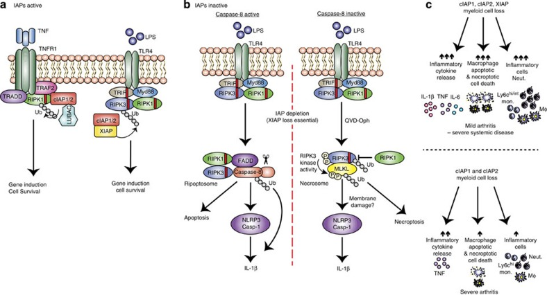 Model for how XIAP and cIAPs repress inflammatory cytokine production, apoptosis and necroptosis. ( a ) When IAPs are present, TNFR1 or TLR–TRIF signalling results in IAP-mediated ubiquitylation of RIPK1 or RIPK3, respectively, to propagate pro-survival signals and gene induction. ( b ) If IAPs are inactivated but caspase-8 is present (left panel), LPS stimulation induces the ripoptosome platform to activate caspase-8 (ubiquitylated). Caspase-8 can (i) trigger apoptosis, (ii) cleave pro-IL-1β directly into its mature form or (iii) promote NLRP3-associated caspase-1 activation, by a mechanism yet to be defined. Alternatively, if both IAPs and caspase-8 are inactive (right panel), LPS induces the formation of the RIPK3–MLKL necrosome that, in addition to causing necroptotic cell death, activates the NLRP3 inflammasome. This necroptotic pathway is associated with RIPK3 and MLKL ubiquitylation, which may control RIPK3/MLKL signalling and/or stability. ( c ) Genetic loss or inhibition of cIAPs alone or XIAP and cIAPs in myeloid cells cause differential effects on cell death, cytokine production and haematopoiesis leading to spontaneous arthritis. Loss of all three IAPs leads to spontaneous systemic inflammatory disease, featuring mild joint inflammation. Disease is associated with increased cytokine release, including IL-1β and TNF, as well as apoptotic and necroptotic cell death and the accumulation of innate inflammatory cells. In contrast, loss of cIAP1/2 causes severe arthritis that is associated specifically with enhanced TNF levels and only modest effects on haematopoiesis.