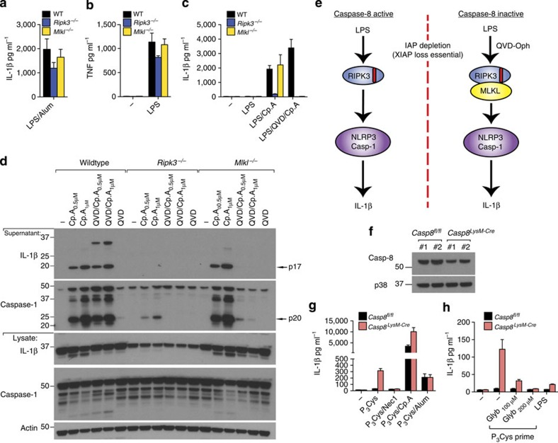 RIPK3 activates caspase-1 independent of MLKL unless caspase-8 is inhibited. ( a – c ) WT, Mlkl −/− and Ripk3 −/− BMDM were primed with LPS (20 ng ml −1 ) for 3 h and cultured with Q-VD-OPh (20 μM), where indicated, which was added in the last 20 min of priming. Cells were then stimulated with Cp.A (500 nM) or alum (300 μg ml −1 ) for a further 6 h. Supernatants were analyzed for ( a , c ) IL-1β and ( b ) <t>TNF</t> by <t>ELISA.</t> n =3 mice per genotype. Data are represented as mean+s.e.m. and are representative of one of three independent experiments. ( d ) WT, Mlkl −/− and Ripk3 −/− BMDM were primed with LPS for 2.5 h. In the last 20 min of priming, cells were incubated with Q-VD-OPh (20 μM) and then cultured with Cp.A (1 μM) for 5 h. Cell supernatants and lysates were analyzed by immunoblot. Representative of one of three experiments. Full-size immunoblots are presented in Supplementary Fig. 11 . ( e ) Schematic depicting how RIPK3 signals IL-1β activation based on the data presented in Figs 1 , 2 , 3 . ( f ) Lysates from WT ( Casp8 fl/fl ) littermate and caspase-8-deficient ( Casp8 LysMcre ) BMDM ( n =2 mice) were subjected to immunoblot to assess efficiency of caspase-8 deletion. Full-size immunoblots are presented in Supplementary Fig. 11 . ( g ) WT littermate and Caspase-8 LysMcre BMDM were primed for 3 h with Pam 3 Cys (2 μg ml −1 ), and as indicated treated with Nec-1 (50 μM) in the last 20 min of priming. Cells were then exposed to Cp.A (500 nM), as specified, for a further 24 h, after which IL-1β release was measured by ELISA. n =3 mice per genotype, mean+s.e.m. Representative of one of three experiments. ( h ) WT littermate and Caspase-8 LysMcre BMDM were pre-incubated with glyburide for 20 min, as indicated, and cultured with Pam 3 Cys (2 μg ml −1 ) or LPS (100 ng ml −1 ) for 24 h. Cell supernatants were assayed for IL-1β by ELISA. n =4 mice per genotype, mean+s.e.m. Representative of one of two experiments.