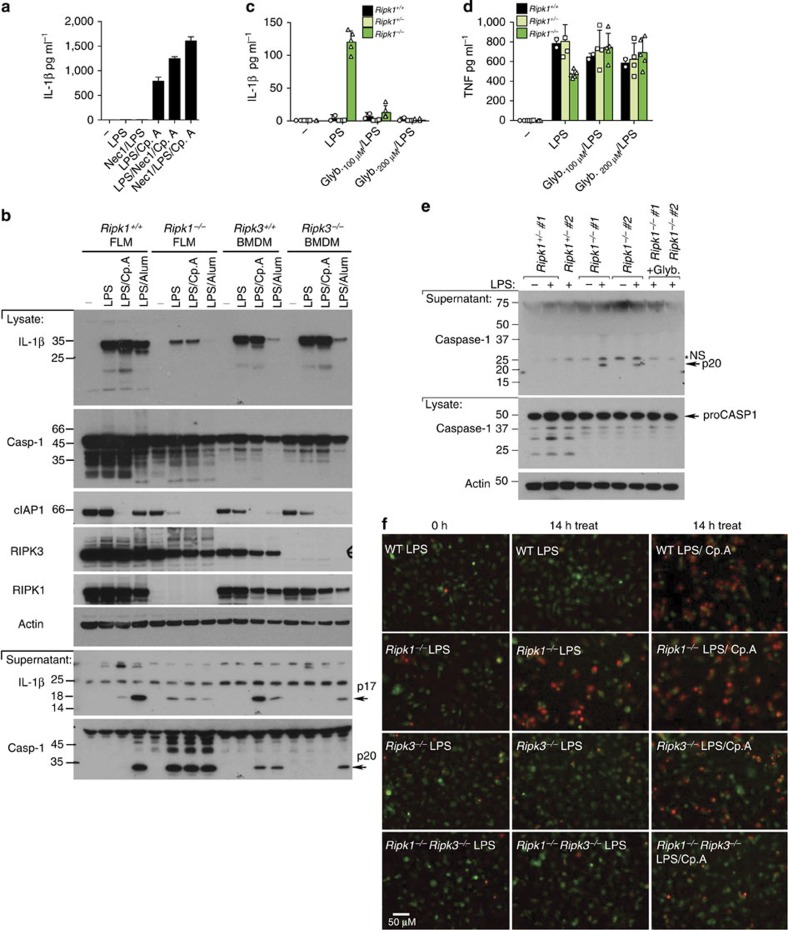 RIPK1 represses LPS-induced RIPK3 activity. ( a ) WT BMDM were either pre-treated for 30 min with Nec-1 (50 μM), or cultured with Nec-1 in the final 30 min of priming with LPS (20 ng ml −1 ) for 3 h. Cp.A (500 nM) was added, as indicated, and cells were cultured for 6 h. Supernatants were assayed for IL-1β. n =3 mice per group, mean+s.e.m. One of two experiments. ( b ) WT and Ripk1 −/− FLM, and WT and Ripk3 −/− BMDM were primed with LPS for 3 h and stimulated with Cp.A (500 nM) or Alum (300 μg ml −1 ) for a further 6 h, and supernatants and lysates were assayed by immunoblot. Full-size immunoblots are presented in Supplementary Fig. 14 . ( c – e ) WT, Ripk1 +/− and Ripk1 −/− FLDM were treated with glyburide for 20 min and then stimulated with LPS (20 ng ml −1 ) for 6–8 h. Data shows three to five embryos of each genotype. ( c , d ) Supernatants were assayed for ( c ) IL-1β and ( d ) TNF production. Data symbols represent individual mice from three experiments. ( e ) Cell lysates and supernatants were blotted for caspase-1 cleavage. n =2 individual mice (numbered). Full-size immunoblots are presented in Supplementary Fig. 14 . ( f ) WT Ripk1 +/+ , Ripk1 −/− , Ripk3 −/− and Ripk1 −/− Ripk3 −/− FLDM were labelled with cell tracker green (green) and cultured with LPS (20 ng ml −1 ) for 1 h, prior to stimulation with Cp.A, as indicated, and PI addition (red). Cells were imaged from 2h post-LPS addition every 30 min fo r 14 h. Supplementary Figure 4g shows additional treatments (LPS/Cp.A/QVD) used in this experiment. Representative images of one of three experiments. *NS, non-specific band.