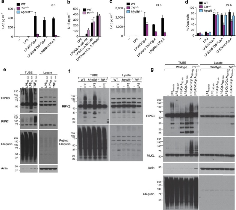 TRIF and IAPs regulate LPS-induced ubiquitylation of RIPK3 and MLKL. ( a ) WT, Myd88 −/− and Trif −/− BMDM were cultured with neutralizing antibodies to TNF (anti-TNF [XT-22] 20 μg ml −1 ), isotype control antibodies (IC [GL113] 20 μg ml −1 ) or Nec-1 (50 μM), and primed for 2 h with LPS, as indicated. Cells were then cultured with Cp.A (500 nM), and IL-1β levels were assayed in supernatants by ELISA at 6 h. n =3 mice per group, mean+s.e.m., representative of one of three experiments. ( b ) WT and Tnf −/− BMDM were primed for 3 h with LPS, and treated with Nec-1 (50 μM) as indicated. Cells were then cultured with Cp.A (500 nM), and after 6 h IL-1β secretion was assayed by ELISA. n =3 mice per genotype, mean+s.e.m., one of three experiments. ( c , d ) WT, Myd88 −/− and Trif −/− BMDM were cultured with neutralizing antibodies to TNF (anti-TNF [XT-22] 20 μg ml −1 ), isotype control antibodies (IC [GL113] 20 μg ml −1 ) or Nec-1 (50 μM), and primed for 2 h with LPS, as indicated. Cells were then cultured with Cp.A (500 nM) for 24 h, and ( c ) IL-1β levels assayed in supernatants by ELISA and ( d ) cell death (% Dead cells) assessed by PI and FACS. n =3 mice per group, mean+s.e.m., representative of one of three experiments. ( e ) WT BMDM were treated with 50 ng ml −1 LPS (30 and 60 min) or 100ng ml −1 TNF (20 min) and ubiquitylated proteins were isolated by TUBE and analyzed by immunoblot. One of two experiments. ( f ) WT, Myd88 −/− , and Trif −/− BMDM were treated with LPS (100 ng ml −1 ) for 60 min and endogenous ubiquitylated proteins isolated by TUBE and analyzed by immunoblot. One of three experiments. ( g ) WT and Trif −/− BMDM were pre-incubated with Q-VD-OPh (20 μM) for 40 min, cultured with Cp.A 500 nM and subsequently treated with LPS (50 ng ml −1 ) for 60 or 190 min as indicated. Endogenous ubiquitylated proteins were isolated by TUBE and analyzed by immunoblot. One of three experiments.