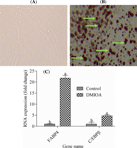 Representative images of non-treated preadipocytes (1A), preadipocytes treated with DMIOA (1B), showing remarkable lipid accumulation in preadipocytes treated with DMIOA and relative expressions of FABP4 and C/EBPB in control and DMIOA treated cells (1C). Preadipocytes were cultured in Dulbecco's modified eagle's medium (DMEM) containing 10% fetal bovine serum (FBS) for 96 hr. Images were taken using an EVOS® xl core cell culture microscope (Advanced Microscopy Group, Seattle, USA) at 20X magnification. Green arrows indicate lipid droplets stained with Oil red O stain whereas there is no lipid formation in non-treated cells. C: Fold change expression of FABP4 and C/EBPβ in preadipocytes treated with an adipogenic cocktail (DMIOA) compared with non-treated cells. Preadipocytes were cultured in Dulbecco's modified eagle's medium containing 10% Fetal Bovine Serum for 96 hr. Bars with different letters are significantly different (P