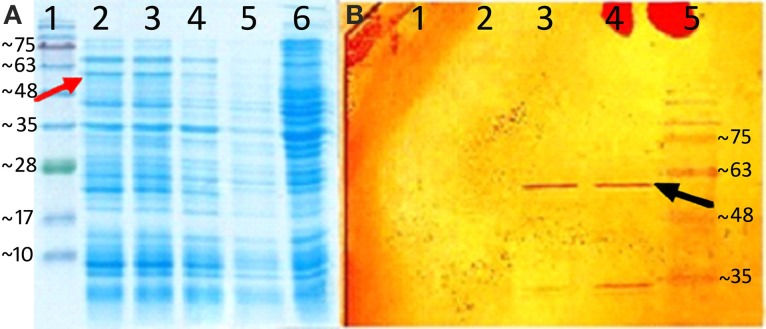 Heterologus expression of AmGAS . (A) sodium dodecyl sulfate polyacrylamide gel electrophoresis (SDS-PAGE), the numbers indicate—1: protein marker, 2: induced recombinant strain containing pET-26b (+) plus AmGAS gene after 6 h, 3, after 4 h; 4, after 2 h; 5, non-induced and 6, E. coli BL21 (DE3) without plasmid, and (B) western blotting, the numbers denote—1, non-induced recombinant strain containing pET-26b (+) plus AmGAS gene; 2, induced protein after 2 h; 3, after 4 h; 4, after 6 h and 5, protein marker. Arrows show the band that belongs to the recombinant protein of AmGAS.