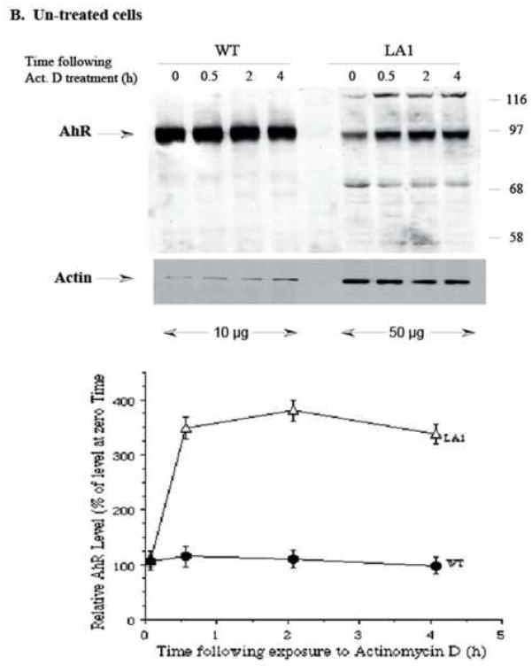 Total cellular AhR levels in Hepa-1 wild-type and LA1 variant cells following actinomycin D treatment of TCDD-treated or untreated cells. Parallel plates to experiments outlined in Fig 4 were treated simultaneously and cells were lysed in Trizol at the indicated times after actinomycin D treatment and used for protein isolation. Approximately 10 μg (WT) or 50 μg (LA1) protein aliquots of each treatment were immunoblotted for AhR and actin. Cells were either pre-treated with 10 nM TCDD (A) or vehicle (DMSO) (B) for 20 h, then treated with actinomycin D. The AhR immuno-detectable bands (95 kDa) were quantified by densitometric scanning of multiple blots and values were corrected for actin loading and normalized to the respective value at the time of actinomycin D addition (0 h) of each cell line and plotted (lower panel).