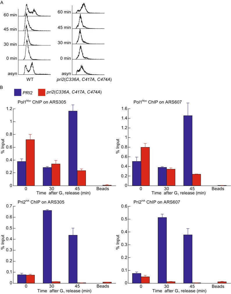 Destabilized association between DNA polymerase α and early replication origins in the pri2 ( C336A , C417A , C474A ) mutant . Congenic wild-type ( POL1-Myc , PRI2-HA ) and mutant ( POL1-Myc , pri2 ( C336A , C417A , C474A ) -HA ) cells were synchronized in G 1 with α factor and released at 23°C. Cells were collected at the indicated time points for FACS (A) and ChIP (B) analyses as described in Fig. 3 . Pol1- and Pri2-associated chromatin was immunoprecipitated using anti-Myc and anti-HA monoclonal antibodies, respectively