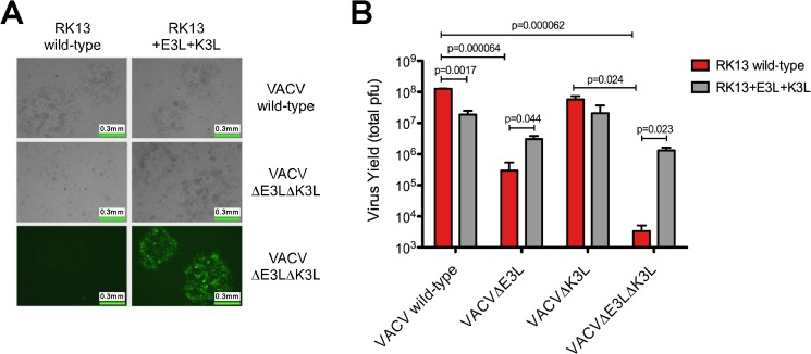 Growth of VACVΔE3LΔK3L is restored in RK13 cells expressing VACV E3 and K3 proteins. (A) VACVΔE3LΔK3L was constructed using homologous recombination techniques and engineered to express GFP in place of the E3L gene. No plaque formation was visualized in wild-type RK13 cells whereas replication capacity was restored in RK13 cells stably expressing E3 and K3 proteins derived from VACV. Representative images are shown. (B) The total yield of VACV wild-type, VACVΔE3L, VACVΔK3L, and VACVΔE3LΔK3L was determined using wild-type RK13 (red bars) and RK13+E3L+K3L (gray bars) cells. Cells were initially infected with a low amount of virus (MOI = 0.01). Virus was harvested 30 hours post-infection and the total yield was determined using standard plaque assays with RK13+E3L+K3L cells. The data is the average of two independent experiments with error bars representing the standard deviation. P-values were determined in Microsoft Excel using the Student's t-test.
