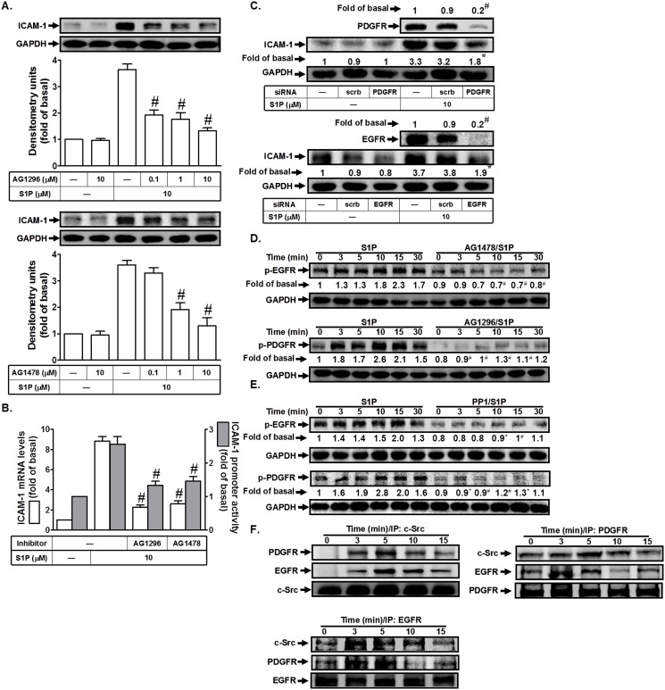 S1P induces ICAM-1 expression via EGFR and PDGFR. (A) HPAEpiCs were pretreated with AG1296 or AG1478 for 1 h, and then incubated with S1P for 16 h. The ICAM-1 protein expression was determined by Western blot. (B) Cells were pretreated with AG1296 (10 M) or AG1478 (10 μM) for 1 h, and then incubated with S1P for 4 h. The ICAM-1 mRNA expression and promoter activity were determined by real-time PCR and promoter assay, respectively. (C) Cells were transfected with siRNA of scrambled, EGFR, or PDGFR, and then incubated with S1P (10 μM) for 16 h. The levels of EGFR, PDGFR, and ICAM-1 proteins were determined by Western blot. (D, E) Cells were pretreated without or with AG1478, AG1296, or PP1 for 1 h, and then incubated with S1P for the indicated time intervals. The levels of phospho-EGFR or phospho-PDGFR were determined by Western blot. (F) Cells were treated with S1P for the indicated time intervals. The cell lysates were subjected to immunoprecipitation using an anti-c-Src, anti-EGFR, or anti-PDGFR antibody. The immunoprecipitates were analyzed by Western blot using an anti-PDGFR, anti-EGFR, or anti-c-Src antibody. Data are expressed as mean (C, D, E) or mean±S.E.M (A, B) of three independent experiments. * P