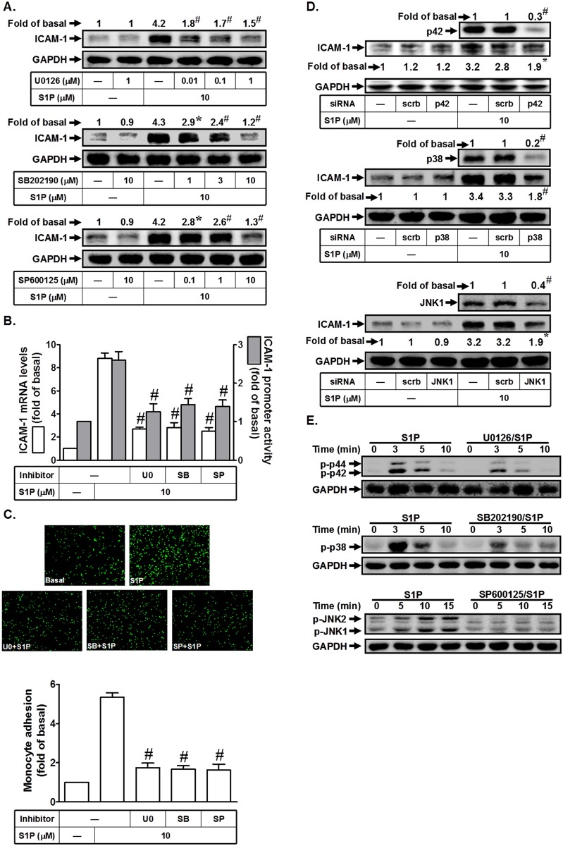 S1P induces ICAM-1 expression via MAPKs. (A) HPAEpiCs were pretreated with U0126, SB202190, or SP600125 for 1 h, and then incubated with S1P for 16 h. The ICAM-1 protein expression was determined by Western blot. (B) Cells were pretreated with SB202190 (10 M), U0126 (1 μM), or SP600125 (10 M) for 1 h, and then incubated with S1P for 4 h. The ICAM-1 mRNA expression and promoter activity were determined by real-time PCR and promoter assay, respectively. (C) Cells were pretreated with SB202190 (10 M), U0126 (1 μM), or SP600125 (10 M) for 1 h, and then incubated with S1P for 16 h. The THP-1 cells adherence was measured. (D) Cells were transfected with siRNA of scrambled, p38, p42, or JNK1, and then incubated with S1P (10 μM) for 16 h. The levels of p38, p42, JNK1, and ICAM-1 proteins were determined by Western blot. (E) Cells were pretreated without or with U0126 (1 μM), SB202190 (10 M), or SP600125 (10 M) for 1 h, and then incubated with S1P (10 M) for the indicated time intervals. The levels of phospho-p42/p44 MAPK, phospho-p38 MAPK, and phospho-JNK1/2 were determined by Western blot. Data are expressed as mean (A, D) or mean±S.E.M (B, C) of three independent experiments. * P