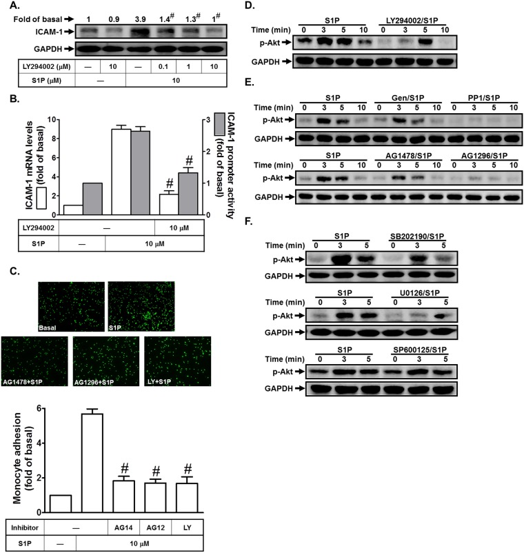 S1P induces ICAM-1 expression via PI3K/Akt. (A) HPAEpiCs were pretreated with LY294002 for 1 h, and then incubated with S1P for 16 h. The ICAM-1 protein expression was determined by Western blot. (B) Cells were pretreated with LY294002 (10 M) for 1 h, and then incubated with S1P for 4 h. The ICAM-1 mRNA expression and promoter activity were determined by real-time PCR and promoter assay, respectively. (C) Cells were pretreated with AG1478 (10 M), AG1296 (10 μM), or LY294002 (10 μM) for 1 h, and then incubated with S1P for 16 h. The THP-1 cells adherence was measured. (D-F) Cells were pretreated with LY294002, Genistein, PP1, AG1478, AG1296, SB202190, SP600125, or U0126 for 1 h, and then incubated with S1P for the indicated time intervals. The levels of phospho-Akt were determined by Western blot. Data are expressed as mean±S.E.M. of three independent experiments. # P