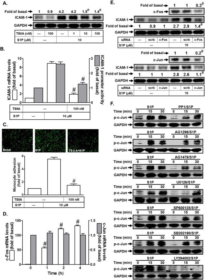 S1P induces ICAM-1 expression via AP-1. (A) HPAEpiCs were pretreated with Tanshinone IIA for 1 h, and then incubated with S1P for 16 h. The ICAM-1 protein expression was determined by Western blot. (B) Cells were pretreated with Tanshinone IIA (100 nM) for 1 h, and then incubated with S1P for 4 h. The ICAM-1 mRNA expression and promoter activity were determined by real-time PCR and promoter assay, respectively. (C) Cells were pretreated with Tanshinone IIA (100 nM) for 1 h, and then incubated with S1P for 16 h. The THP-1 cells adherence was measured. (D) Cells were treated with S1P for the indicated time intervals. The mRNA levels of c-Jun and c-Fos were determined by real-time PCR. (E) Cells were transfected with siRNA of scrambled, c-Jun, or c-Fos, and then incubated with S1P (10 μM) for 16 h. The levels of c-Fos, c-Jun, and ICAM-1 proteins were determined by Western blot. (F) Cells were pretreated without or with PP1, AG1296, AG1478, U0126, SP600125, SB202190, or U0126 for 1 h, and then incubated with S1P for the indicated time intervals. The levels of phospho-c-Jun were determined by Western blot. Data are expressed as mean (A, E) or mean±S.E.M. of three independent experiments. # P