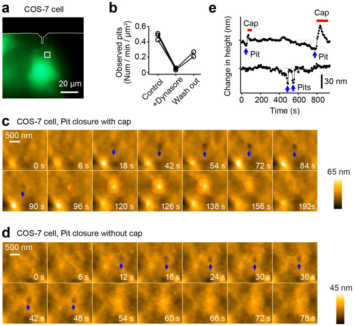 Pits formation on the plasma membrane of a living COS-7 cell. (a) Fluorescence images of a COS-7 cells transfected with mEGFP. The white broken lines show the shadow of the cantilever. The area indicated with the white square was subjected to LT-HS-AFM imaging. (b) The number of observed pits per min per μm 2 area before, after and washout of dynasore application. (c) A sequence of magnified LT-HS-AFM images of a living COS-7 cell, taken at 6 s per frame, during the pit formation and the closure of the pit with a cap. Blue arrows indicate the formation of the pit. Dotted red circles indicate the formation of the closure cap. (d) A sequence of magnified LT-HS-AFM images during pit formation and closure of a pit without a cap. Blue arrows indicate the formation of the pit. (e) Time courses of the depth of pits with and without closure caps. More data are shown in Supplementary Figure 4 . Red bars indicate the formation of closure caps. Blue arrows indicate pit formation.