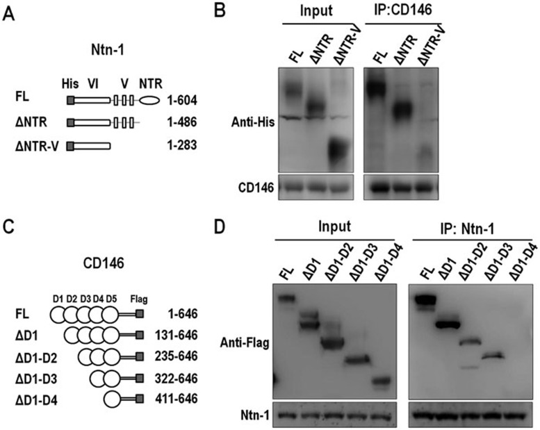 Identification of interacting domains of netrin-1 and CD146. (A) A diagrammatic illustration of the full-length (FL) and truncation mutants of netrin-1 expressed as His-tagged proteins. (B) HEK293 cells were co-transfected with plasmid expressing CD146 and the FL or truncation mutant of netrin-1. The cell lysates were prepared for immunoprecipitation with anti-CD146 mAb AA1. (C , D) Defining the domain of CD146 required for interaction with netrin-1. CD146 and its truncation mutants were expressed as Flag-tagged proteins. Immunoprecipitation was performed using anti-netrin-1 mAb. Data represent 3 independent experiments.