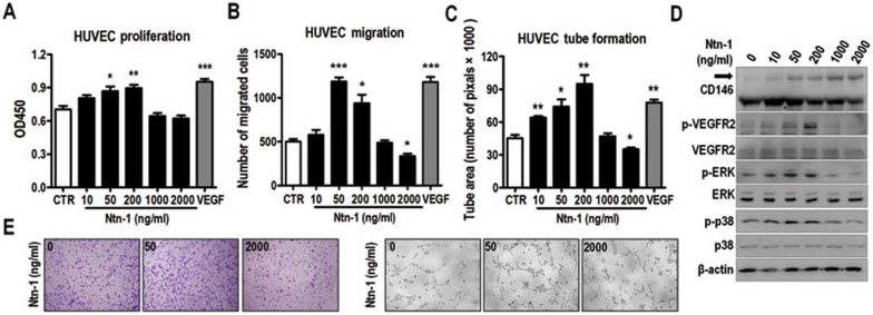 Netrin-1 exhibits dual activities in endothelial cell activation. (A-C) HUVECs were used for proliferation assay (A) , transwell migration assay (B) and tube formation assay (C) . Netrin-1 was applied at concentrations as indicated. (D) serum-starved HUVECs were treated with netrin-1 at different concentrations for 10 min. Dimerization of CD146 and phosphorylation of VEGFR2, ERK1/2 and p38 were analyzed by western blotting. The black arrow marks the CD146 dimer. (E) Representative images of netrin-1-induced HUVEC migration (left) and tube formation (right). For A-C , n = 3 in each group. Data represent 3 independent experiments (means ± SEM). * P