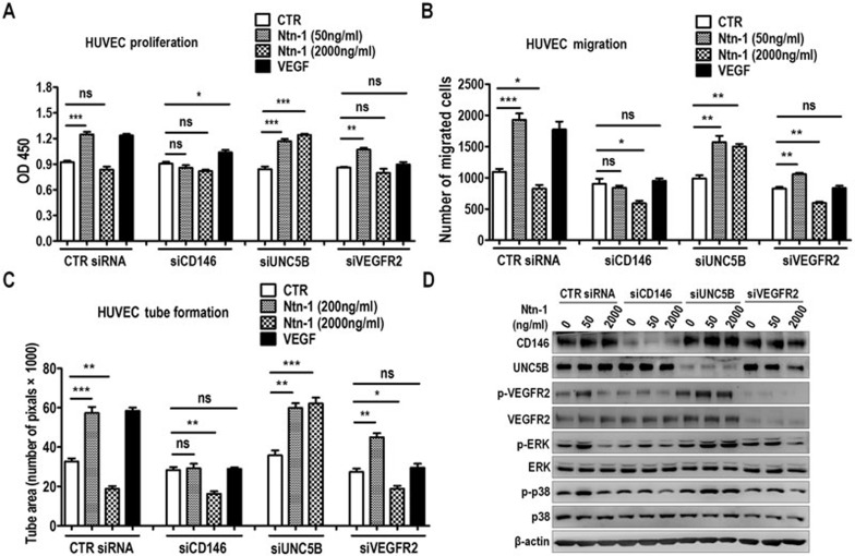 <t>CD146</t> mediates netrin-1-induced endothelial cell activation. (A – D) HUVECs transfected with control, CD146, UNC5B or VEGFR2 specific siRNA were subjected to proliferation assay (A) , transwell migration assay (B) , tube formation assay (C) and signaling activation assay (D) . Netrin-1 was applied at the indicated concentrations. Note that the specific siRNAs efficiently downregulated the expression of corresponding molecules. For A – C , n = 3 in each group. Data represent 3 independent experiments (means ± SEM). * P