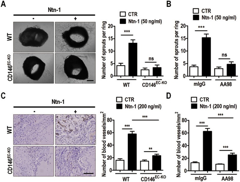 CD146 is required for netrin-1-induced angiogenesis in mouse models. (A) Aortic rings were prepared from WT or CD146 EC-KO mice. Control or netrin-1 (50 ng/ml) was directly added to the culture medium. (B) The effect of anti-CD146 antibody <t>AA98</t> was tested in the aortic-ring assay. Control mIgG or AA98 (100 μg/ml) was added to the culture medium in the presence of control or netrin-1 (50 ng/ml). After culturing for 5-6 days, the number of sprouts from each ring was quantified. n = 10 in each group and results are presented as average number of sprouts per ring (means ± SEM). (C) The Matrigel-plug assay for angiogenesis was carried out using WT or CD146 EC-KO mice. The plugs were mixed with control or netrin-1 (200 ng/ml) and then injected subcutaneously into mice in the corresponding groups. (D) The effect of anti-CD146 antibody AA98 on netrin-1-induced angiogenesis was tested in the Matrigel-plug assay. The plugs were pre-mixed with AA98 or control mIgG (100 μg/ml) and injected into the WT mice. 10 days post injection, the Matrigel plugs were sectioned and immunostained with anti-CD31 antibody. The number of blood vessels in each section was scored. n = 5 in each group and results are presented as average number of blood vessels/mm 2 (means ± SEM). Scale bar, 200 μm. * P