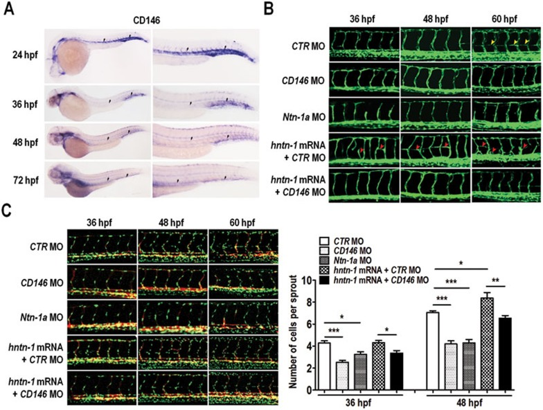 CD146 mediates netrin-1-induced angiogenesis in zebrafish. (A) CD146 expression in the zebrafish embryos at different stages was detected by whole mount in situ hybridization. (B) The control, CD146 or netrin-1a specific MO was injected with control or human netrin-1 mRNA into the transgenic zebrafish Tg(kdrl:GFP) embryos that expressed GFP to enable visualization of vasculature. The vascular patterns of the fish embryos at 36, 48 and 60 hpf were analyzed. Yellow arrowheads indicate PAV. Red arrowheads mark ectopic sprouts in netrin-1 mRNA-injected embryos. (C) Tg(Fli1:nGFP) × Tg(kdrl:mcherry) embryos were injected with the indicated MO and mRNA. The number of endothelial cells in the ISVs of the embryos at 36 hpf, 48 hpf and 60 hpf stages was quantified and analyzed. Data are presented as average number of endothelial cells per ISV (means ± SEM). * P