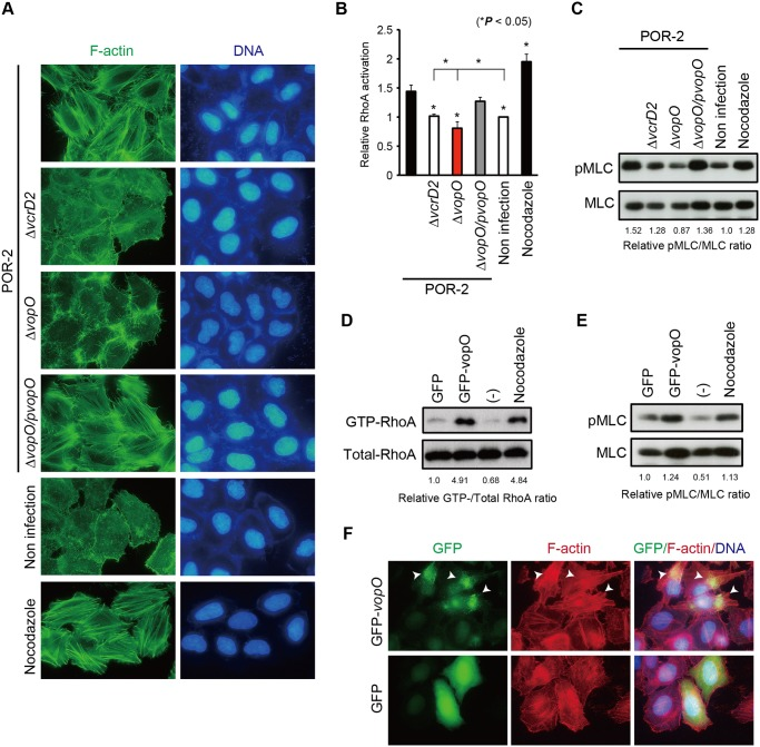 Identification of the stress fiber formation-inducing T3SS2 effector VopO. (A) HeLa cells were infected with POR-2, POR-2 ∆vcrD2 (a T3SS1- and T3SS2-deficient strain), POR-2 ∆vopO (a vopO mutant strain derived from POR-2), or POR-2 ∆vopO/pvopO (a strain complemented with the vopO gene) for 3 h, or were treated with 10 mM nocodazole for 1 h. After infection or nocodazole treatment, the cells were stained to detect F-actin (green) and cellular and bacterial DNA (blue). (B) G-LISA was used to evaluate the relative RhoA activation level in cells infected with isogenic V. parahaemolyticus mutant strains for 150 min or treated with 10 mM nocodazole for 30 min. The asterisks indicate results that differ significantly from those obtained using the parent strain (POR-2) (* p