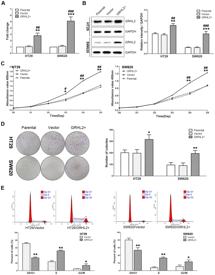 Over-expression of GRHL2 promoted proliferation of CRC cell lines in vitro . (A) A qRT-PCR analysis of GRHL2 gene expression revealed a striking up-regulation of exogenous GRHL2 expression in HT29 (HT29/GRHL2+) and SW620 (SW620/GRHL2+) cells compared to Parental and Vector cells. (B) In HT29/GRHL+ and SW620/GRHL2 cells, there were a marked increase in the expression of GRHL2, verified by western blot. Immunoblotting results are typical blots from 3 experiments. Densitometric analysis was expressed relative to the loading control, GAPDH. (C) Effect of GRHL2 on cellular proliferation was measured by CCK-8 assay. HT29/GRHL+ and SW620/GRHL2 cells showed higher proliferation than control cells. (D) GRHL2 over-expression resulted in a significant increase in colony formation in GRHL2+ cell. (E) Representative charts for cell-cycle distribution in Vector and GRHL2 cells. Results are mean ± SD (3-5 experiments). *Relative to Vector control; #relative to Parental control. * p