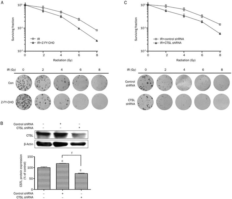 The inhibition of cathepsin L sensitized U251 cells to IR. (A) Clonogenic survival curves for U251 cells treated with radiation (0, 2, 4, 6, and 8 Gy) alone or in combination with Z-FY-CHO. (B) Western blot of CTSL in whole cell extracts from parental U251, U251-consh and U251-Lsh cells. β-Actin was used as an internal control. c P
