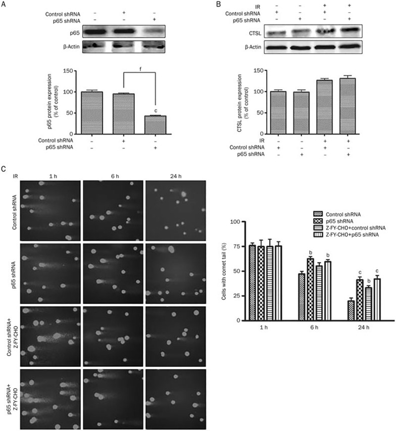 Effect of p65 shRNA on the expression of p65 and cathepsin L in U251 and MCF-7 cells. (A) Western blot of p65 whole cell extracts from normal U251, U251-consh and U251-p65sh cells. β-Actin was used as an internal control. c P