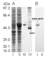 The maltose-binding protein <t>(MBP)-amyloid</t> precursor protein intracellular domain (AICD) fusion protein was expressed, purified and detected in vitro . (A) Whole-cell extracts from E. coli BL21 transformed with <t>AICD/pMAL-c2</t> plasmids either noninduced (lane I) or induced by isopropyl-β-D-thiogalactoside (lane II), purified MBP-AICD (lane III) and MBP (lane IV) were separated on 10% sodium dodecyl sulfate-polyacrylamide electrophoresis gels and stained with Coomassie brilliant blue. (B) MBP-AICD (lane I, corresponding to lane III in Figure 1A ) but not MBP (lane II, corresponding to lane IV in Figure 1A ) was recognized by a specific antibody against AICD in western blot analysis.