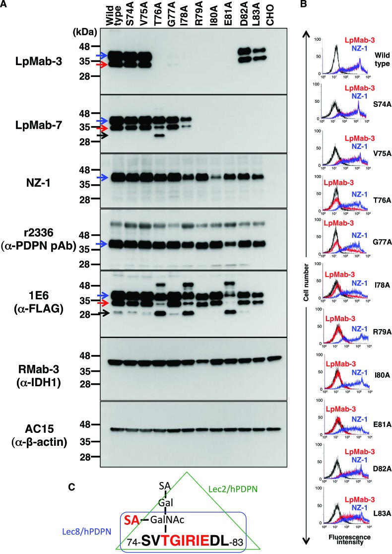 Epitope mapping of LpMab-7 by Western blot analysis and flow cytometry. ( A ) Western blotting by LpMab-3, LpMab-7, NZ-1, r2336, 1E6, RMab-3 (α-IDH1), and AC-15 (α-β-actin). Total cell lysate were electrophoresed on 5–20% polyacrylamide gels and transferred onto a PVDF membrane. After blocking, the membrane was incubated with 1 μg/mL of primary antibodies and then with peroxidase-conjugated secondary antibodies; the membrane was detected using a Sayaca-Imager. Blue arrow, 40 kDa band (glycosylated); red arrow, 30 kDa band (glycosylated); black arrow, 25 kDa band (non-glycosylated). ( B ) Point mutants of human podoplanin were treated with NZ-1 and LpMab-3 (1 μg/mL) for 30 min at 4°C, followed by treatment with <t>Alexa</t> <t>Fluor</t> 488 conjugated anti-rat <t>IgG</t> and anti-mouse IgG, respectively. Fluorescence data were collected using a Cell Analyzer EC800. ( C ) TGIRIE sequence and α2–6 linked sialic acid are the critical epitope of LpMab-3.