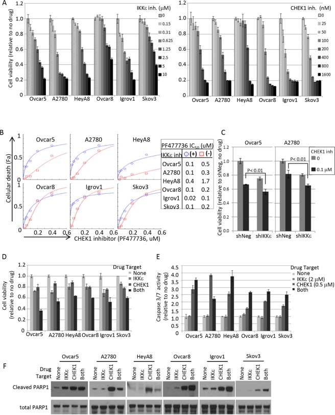 Pharmacological intervention of IKKε and CHEK1 in ovarian cancer cell lines (A) IKKε inhibitor (BX795) and CHEK1 inhibitor (PF477736) sensitivities were measured by XTT assay. Cells were seeded at 1000 cells/well in 50 μl and 4 replicates 16-20 hours prior to the addition of the drug. XTT assay was performed 3 days later upon drug treatment. The viability was calculated relative to no drug treated samples. (B) Cellular viability assay was performed in 2-fold serial dilutions of PF477736 (range 0 – 0.4 μM) in triplicate in a 96 well matrix format, and then cellular death (Fa; fraction affected) was calculated from XTT based viability fractions. IC50 was calculated using CompuSyn software. Shown are the results in the presence of BX795 (circle; 1.25 μM, except 0.625 μM for A2780) and the absence of the IKKε inhibitor (square). (C) IKKε and CHEK1 doubly depleted Ovcar5 and A2780 cells maintained in selective media (25 μg/ml of mycophenolic acid and 2 μg/ml of puromycin) were seeded in 96-well plates 24 hours prior to the addition of CHEK1 inhibitor PF477736. XTT assay was performed 3 days later upon drug treatment. Statistical tests were 2-sided between shNeg and shIKKε in the presence of CHEK1 inhibitor. (D) The relative cell viability was calculated based on no drug treatment, and is shown at the following suboptimal concentrations of BX795/PF477736: 1.25 μM/0.2 μM (Ovcar5, HeyA8), 1.25 μM/0.1 μM (Ovcar8, Skov3), 0.625 μM/0.1 μM (A2780), and 0.625 μM/0.05 μM (Igrov1). SD was calculated from 3 replicates. XTT assay was performed 3 days after treatment. (E) Caspase-3/7 activity was measured by Caspase-Glo assay after exposure to BX795 (2 μM) and/or PF477736 (0.5 μM) for 24 hours. Mean values ± SD of 3 replicates are shown and the data represent 4 independent experiments. (F) The cleavage of apoptotic indicator PARP-1 was examined by Western blot analysis. Cells were treated for 24 hours as the same conditions as in Figure 4E and harvested for total cell lysate preparation. Total PARP1 is shown as a loading control.