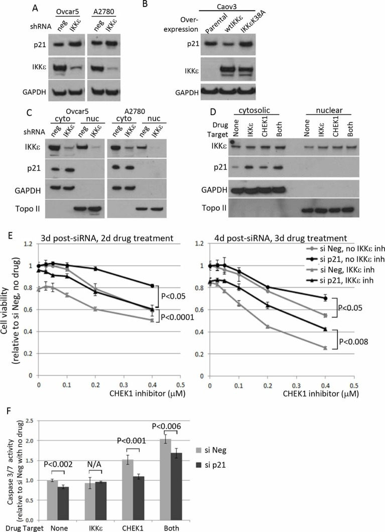 The effect of IKKε manipulation on p21 level and its effect on survival of ovarian cancer cells (A) Ovcar5 and A2780 were depleted of IKKε or negative control and maintained under selection (25 μg/ml of mycophenolic acid). Total protein lysates were prepared to examine p21 level and the knockdown of IKKε. GAPDH was used as a loading control. (B) Caov3-wtIKKε and Caov3-IKKε K38A were maintained in selective media (100 μg/ml of G418) and total protein lysates were prepared for the protein analysis. (C) Cytoplasimc and nuclear protein fractionation was prepared using Ovcar5 and A2780 depleted for IKKε (shRNA#1) or control and maintained in culture after magnetic beads purification for LYT2 surface selection marker. (D) Ovcar5 cells were treated for 4 hours with IKKε inhibitor (BX795, 2 μM) and/or CHEK1 inhibitor (PF477736, 0.5 μM) prepared in fresh medium prior to cellular fractionation. GAPDH and Topoisomerase II were used as cytosolic and nuclear markers, respectively. (E) Cells transfected with either siNeg or si p21 were seeded at 2000 cells/well in 50 μl in 3 replicates and 8 hours later PF477736 was added in the absence or presence of BX795 (0.3 μM). XTT assay was performed 2 and 3 days later upon drug treatment. The viability was calculated relative to no drug and siNeg treated samples. The significant p values between siNeg and si p21 samples were calculated by a 2-sided student's t-test. (F) After 16 hours siRNA transfection, cells were seeded and treated for 16 hours with IKKε inhibitor (BX795, 0.3 μM) and/or CHEK1 inhibitor (PF477736, 0.4 μM) in 4 replicates. The caspase3/7 activities were shown relative to untreated siNeg samples from 4 replicates. The significant p values between siNeg and si p21 samples were calculated by a 2-sided student's t-test.