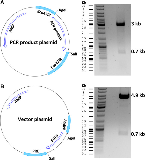 Vector and insert plasmid maps A) Illustration of the <t>CloneJET</t> plasmid containing the <t>PCR</t> product. Insertion of the PCR product in the cloning site of the plasmid disrupts the integrity of the toxic gene eco47IR and allows the growth of transgene positive clones. The plasmid was cut with the Age I and Sal I enzymes generating two fragments of 3 kb and 0.7 kb in size. The 0.7 kb fragment (tdTomato gene) was used as the insert for cloning. (B) Illustration of the vector plasmid. The plasmid was cut with the Age I and Sal I enzymes generating two fragments of 4.9 kb and 0.7 kb in size. The 4.9 kb fragment was used as the vector for cloning. AMP: Ampicillin resistance gene; PRE: posttranscriptional regulatory element; MPSV: myeloproliferative sarcoma virus promoter.