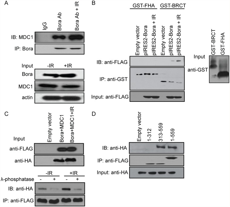 Bora inhibits MDC1 foci formation via interaction with MDC1 BRCT domain in a phosphorylation-dependent manner. A. Bora interacts with MDC1. IP was performed using anti-Bora antibody followed by blotting with anti-MDC1 antibody in 293T cells. B. Bora interacts with MDC1 via the MDC1 BRCT domain. Lysates from 293T cells overexpressing FLAG-tagged Bora were incubated with GST-BRCT or GST-FHA fusion protein immobilized on the glutathione agarose beads for 2 h before washing. The elution was subsequently analyzed by Western blot with anti-FLAG antibody. C. Effect of phosphorylation on Bora-MDC1 interaction. Lysates from 293T cells overexpressing FLAG-tagged Bora and HA-tagged MDC1 was either incubated with buffer alone or with lambda phosphatase for 15 min at 30°C. The mixture was then incubated with FLAG beads. There was a significant decrease in the binding between Bora and HA-tagged MDC1 in the presence of lambda phosphatase regardless of IR treatment. D. Bora C terminus fragment (313–559 aa), but not N terminus (1–312 aa) co-immunoprecipitates with HA-tagged MDC1. 293T cells were co-transfected with plasmids encoding FLAG-tagged Bora or various deletion constructs, and plasmids encoding HA-tagged MDC1. Lysates were incubated with FLAG beads, followed by Western blot analysis with anti-HA antibody.