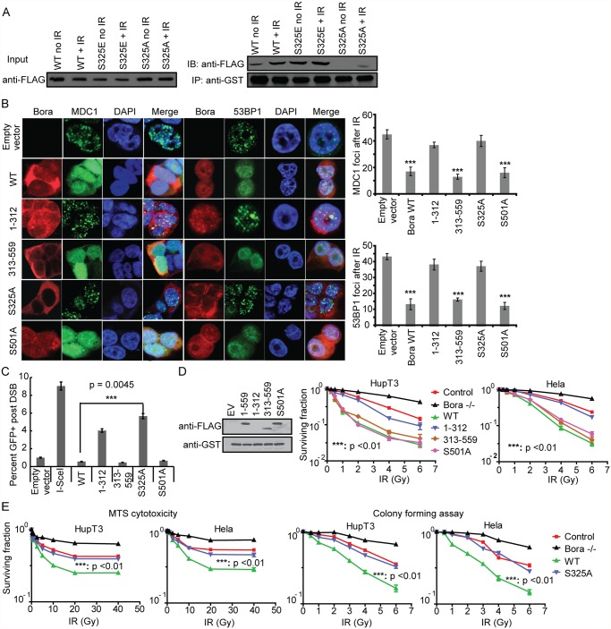 Bora S325A phosphorylation mutant causes increased MDC1 and 53BP1 IRIF formation, DNA repair and resistance to IR treatment. A. Bora S325 phosphorylation is required for its association with MDC1. Lysates from 293T cells overexpressing FLAG-tagged WT Bora, the S325E mutant and the S325A mutant with or without IR treatment were incubated with GST- MDC1 BRCT fusion protein immobilized on the glutathione agarose beads and subsequent analysis by Western blotting with anti-FLAG antibody. B. Effect of Bora deletion and mutant constructs on MDC1 and 53BP1 IRIF formation. Left Panel: Foci formation. Hela cells were transfected with wild type, Bora deletion, S501A or S325A mutant FLAG-tagged constructs. Forty-eight h after the transfection, cells were treated with 10 Gy IR and immunostained with indicated antibodies. Right Panel: Quantification of MDC1 and 53BP1-IRIF formation per cell is shown after 10 Gy IR. Error bars represent SEM calculated based on100 cells. C. Percentage of GFP positive cells observed in DR-GFP reporter assay in Hela cells that overexpressed different Bora mutant or deletion constructs. Data are presented as mean ± SEM from three independent experiments. Significance was calculated between WT Bora and S325A mutant. D. Effect of Bora deletion and S501mutant constructs on the Bora binding to MDC1 and IR sensitivity. Left Panel: Immunoprecipitation. Lysates from 293T cells overexpressing FLAG-tagged WT Bora and Bora mutants as well as Bora N or C terminal constructs were incubated with GST- MDC1 BRCT fusion protein immobilized on the glutathione agarose beads, with subsequent Western blot analysis with anti-FLAG antibody. Right Panel: Colony forming assays. Bora stably knockdown cell lines were transfected with WT Bora, S501A or C and N terminal constructs, and then treated with increasing dose of IR and cytotoxicity was determined by colony forming assays. E. Effect of S325 mutant construct on IR sensitivity. HupT3 and Hela cell lines with Bora stably k