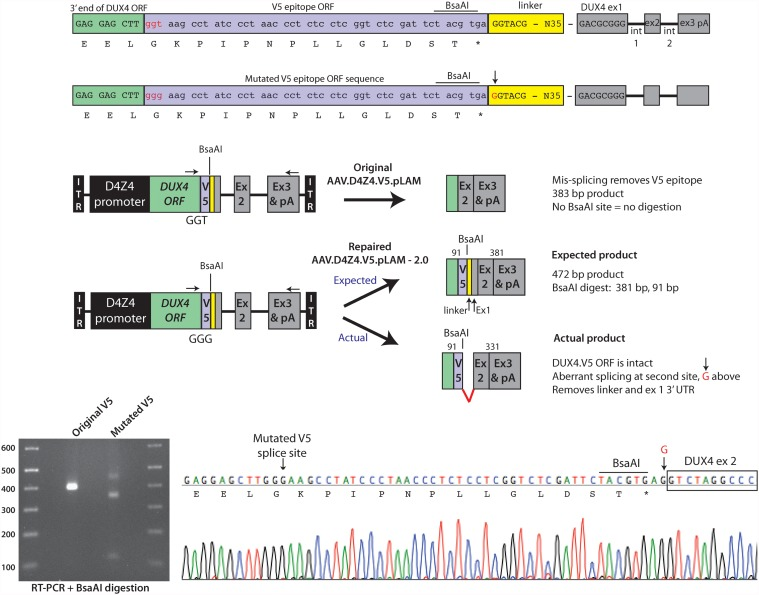 Repaired AAV.D4Z4.V5.pLAM-2.0 vector produces full-length DUX4.V5. (A) Mutation of the DUX4-V5 splice donor from GGT to GGG (lowercase red letters) maintained the V5 glycine residue but destroyed the invariant T required for splicing. Note the yellow boxed area containing linker sequences joining the V5 epitope to the natural DUX4 exon 1 untranslated region. The red uppercase G (indicated by arrow) at the beginning of the linker indicates a second aberrant splice site utilized instead of the natural DUX4 exon 1 splice donor, only in the repaired sequence. BsaAI restriction sites are indicated. (B) Schematic of 3' RACE/BsaAI restriction digestion assay to identify mis-spliced DUX4-V5 products. The BsaAI site is located in the V5 tag. Removal of this sequence by mis-splicing creates a BsaAI-resistant 3' RACE product of 383 bp, evident by gel electrophoresis (C, original V5). The repaired vector incorporated the V5 tag and its resident BsaAI, making this product susceptible to digestion by the enzyme. The expected full-length and BsaAI-digested products were empirically smaller following electrophoresis (C, mutated V5). (D) Sequence chromatogram of the mutated DUX4.V5 transcript revealed that full-length DUX4.V5 was produced, but a second splice donor sequence was encountered and preferentially utilized instead of the natural DUX4 exon 1 donor. Arrow points to the G residue indicated in the linker sequence of (A).