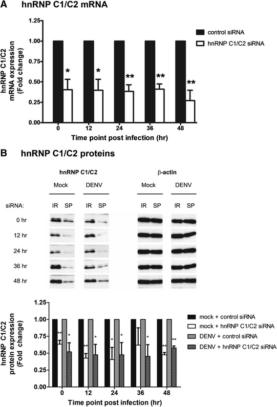 siRNA-mediated knockdown of hnRNP C1/C2 mRNA and proteins. (A) Huh7 cells transfected with hnRNP C1/C2-specific or control siRNA were infected with DENV at MOI 0.03. Cells were collected at 0, 12, 24, 36 and 48 h post-infection and subjected to total RNA extraction and subsequent reverse transcription and real-time PCR for determination of hnRNP C1/C2 and β-actin (internal control) mRNA expression. Relative hnRNP C1/C2 mRNA expression was obtained by normalization with β-actin mRNA expression in siRNA-transfected cells following DENV infection. Fold change of the relative hnRNP C1/C2 mRNA expression between the specific siRNA and control siRNA-transfected samples was compared. Data represent mean and SEM of three independent experiments. Asterisks indicate statistically significant differences (*p
