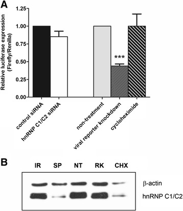 Effect of hnRNP C1/C2 knockdown on DENV protein translation. Huh7 cells transfected with hnRNP C1/C2-specific siRNA (SP) or irrelevant negative control siRNA (IR) were subjected to co-transfection with pGL3-DENV2-5′UTR-72ntC-Fluc-3′UTR construct (viral reporter) and pRL-SV40 construct (internal control reporter). At 12 h after reporter RNA transfection, cells were harvested and assessed for firefly and Renilla luciferase activities. In parallel, reporter RNA-transfected cells that were treated with DENV capsid-specific siRNA to knockdown viral reporter RNA template used for viral translation (RK) or with cycloheximide to inhibit overall protein translation (CHK) were set up as positive controls in this assay for inhibition of protein translation, compared with non-treated cells (NT). (A) Relative luciferase expression specifically indicated DENV protein translation. In each sample, relative luminescence units of firefly luciferase activity were normalized to that of Renilla luciferase activity. Normalized luciferase signals of control siRNA-transfected cells and non-treated cells were set to 1. Relative luciferase expression in hnRNP C1/C2-specific siRNA was compared to that in control siRNA-transfected cells whereas relative luciferase expression in viral reporter knockdown cells and cycloheximide-treated cells was compared to that in non-treated cells. Data represent mean and SEM of three independent experiments. Asterisks indicate statistically significant difference (***p