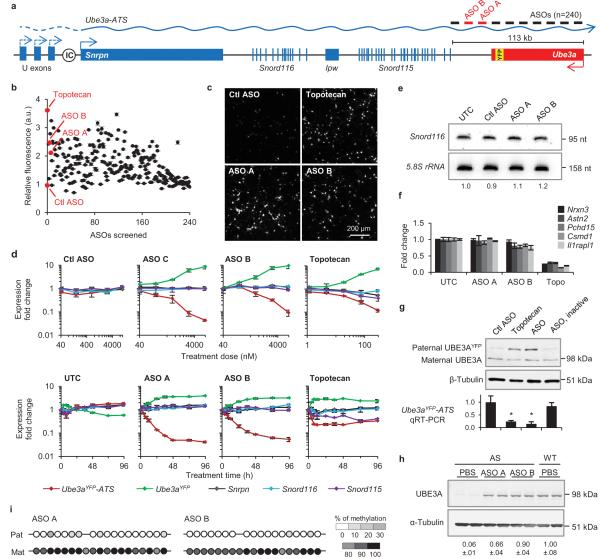 Unsilencing of the Ube3a paternal allele by Ube3a-ATS targeted ASOs in cultured mouse neurons a, Schematic mouse Ube3a genomic locus. IC, imprinting center. b, UBE3A YFP fluorescence (arbitrary units, a.u.) in ASO-treated primary neurons relative to untreated control. Ctl ASO, non-targeting control ASO. c, YFP fluorescent imaging of treated Pat YFP neurons. d, Normalized mRNA levels in Pat YFP neurons treated with increasing dose (upper panel) or for increasing time (lower panel). e, Northern blot of Snord116 expression. Snord116 intensity relative to 5.8S rRNA is quantified. f, Normalized mRNA levels of long genes. g, Western blot (upper) and qRT-PCR (lower) from Pat YFP neurons. ASO, inactive is a sequence-matched RNase H inactive ASO. * P