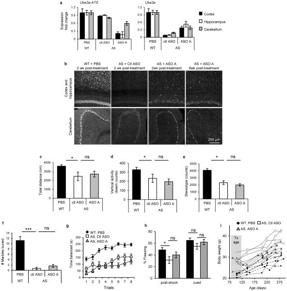 ASO treatment in AS mice up-regulated Ube3a a, RNA levels of Ube3a-ATS and Ube3a were determined by qRT-PCR in WT mice treated with PBS and AS mice treated with non-targeting control ASO (ctl ASO), or ASO A. n =2-3 per group, mean ± s.e.m. b, UBE3A immunofluorescence on brain sections was performed 2 to 8 wk post-treatment. c-h, ASO treatment in adult AS mice did not reverse some disease-associated phenotypes. c, Total distance traveled in the open field assay. d, Vertical activity in the open field assay. e, Stereotype activity in the open field assay. f, Marble burying test. The y axis represents the number of marbles at least 50% buried. g, Accelerating rotarod test during eight trials. h, Post-shock and cued response measured during the fear conditioning assay. n =13-15 per group * P