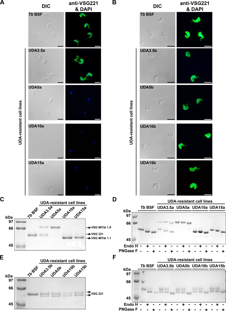 Analysis of the VSG expressed in UDAa and UDAb resistant lines. A and B) VSG221 expression in parental and UDA-resistant parasites was monitored by immunofluorescence microscopy using a polyclonal antibody against VSG221. Nuclear and kinetoplast DNA was stained with DAPI. Bars, 10 μm. C and E) sVSG were purified from parental and resistant lines as described [ 29 , 30 ] and analyzed by SDS/PAGE and Coomassie blue staining. D and F) sVSG samples were digested with Endo H (that removes oligomannose N -linked glycans) or PNGase F (that removes all N -linked glycans), and the products of the reaction were subjected to SDS/PAGE and Coomassie blue staining.